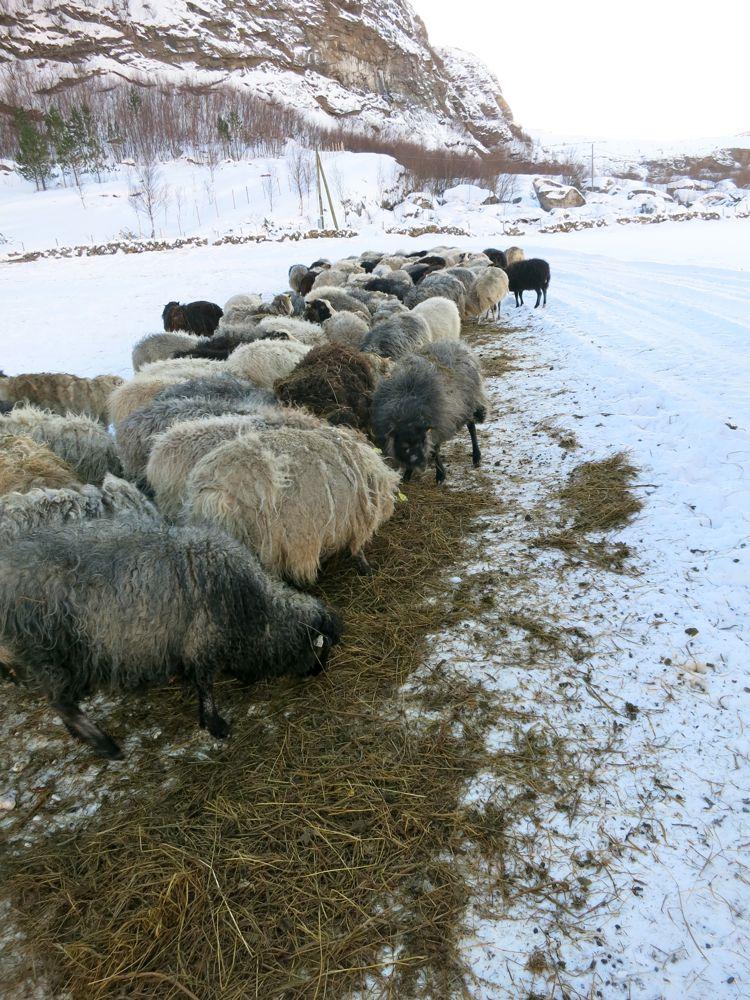 _lineharbak_farmlife_harbak_fôring_vinter_sau14