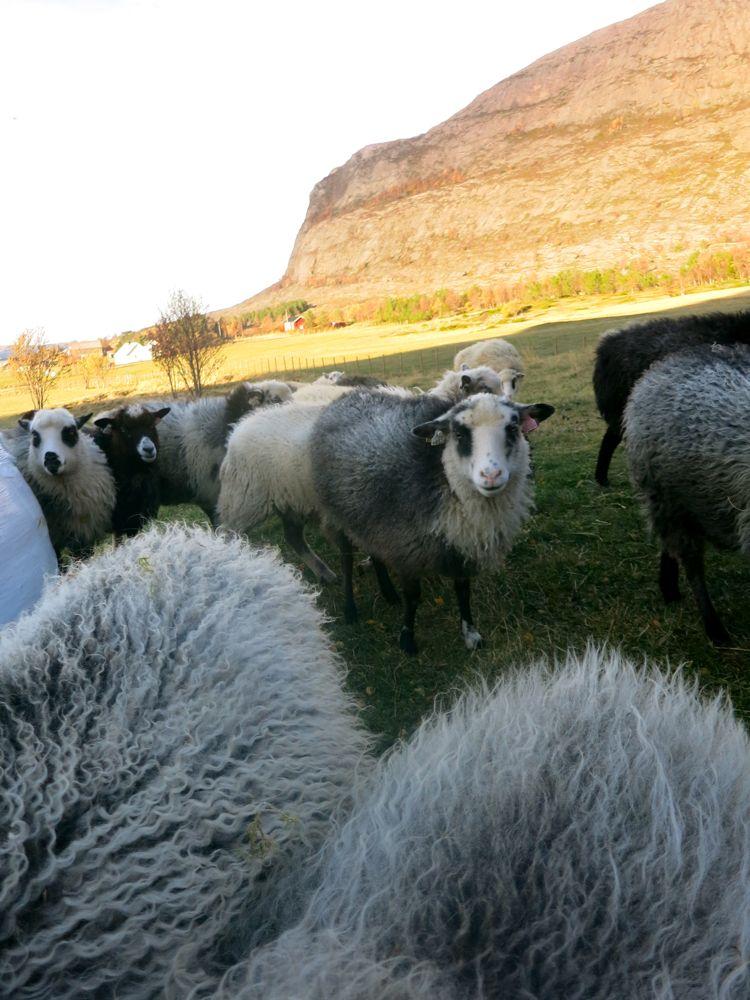 231016_lineharbak_sheep03
