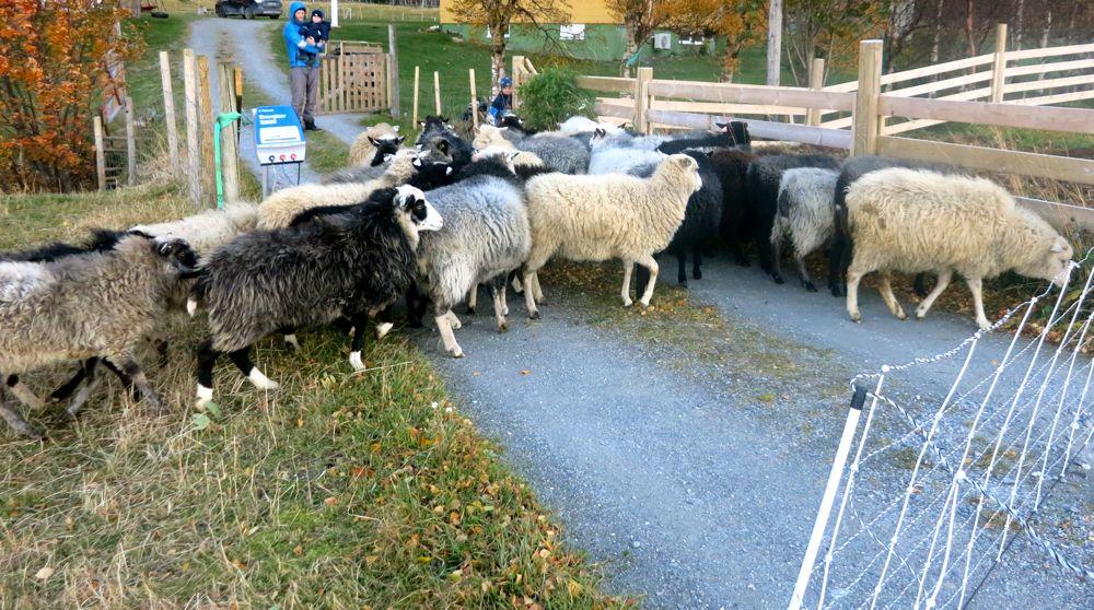 231016_lineharbak_sheep04
