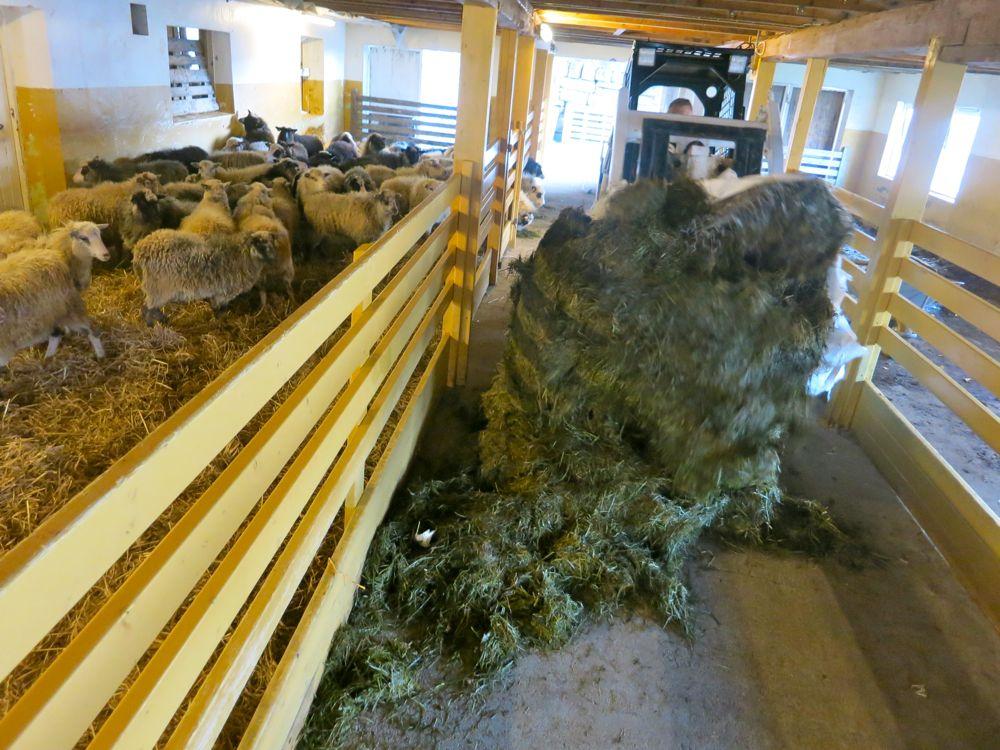 231016_lineharbak_sheep10