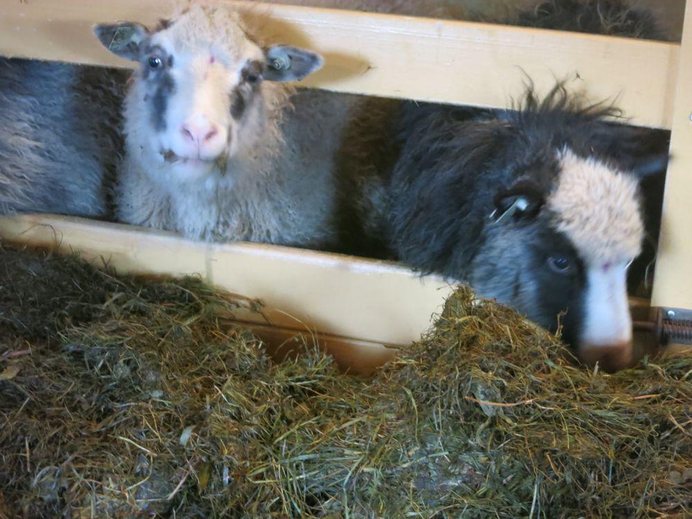 231016_lineharbak_sheep15